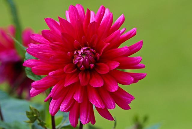 Dahlia, Red, Flower, Dahlia Garden, Blossom, Bloom