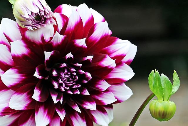 Dahlia, Georgine, Flower, Composites, Flower Garden