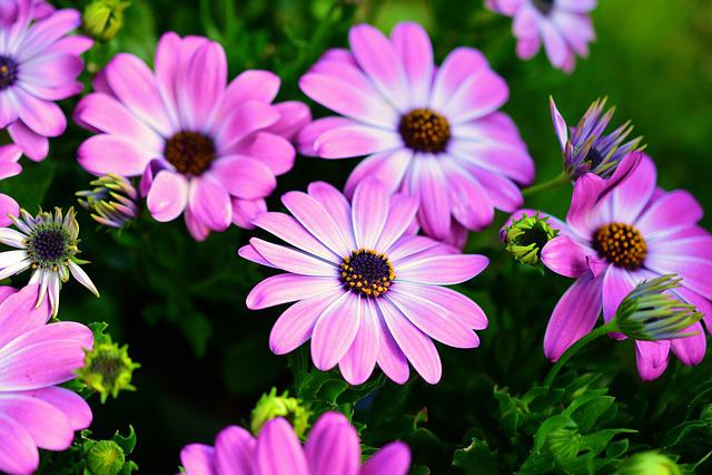 Daisies, Cape Basket, Bornholm-daisies, Flower, Blossom