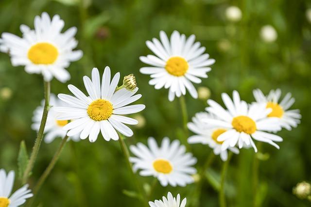 Fleur Des Champs, Daisies, Marguerite, Flowering