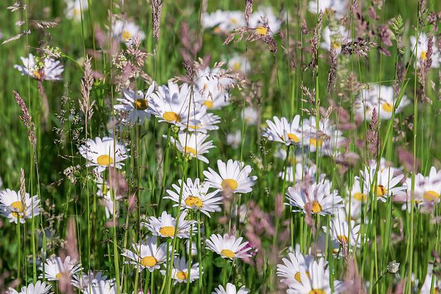 Daisies, Bloom, Meadow, Floral, Yellow, White