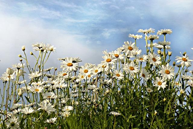 Daisies, Leucanthemum, Flower, White, Summer