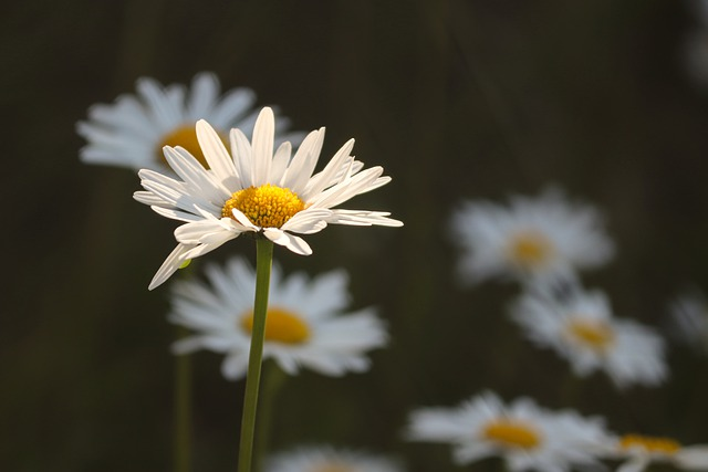 Daisies, Flower Meadow, Illuminated, Individually