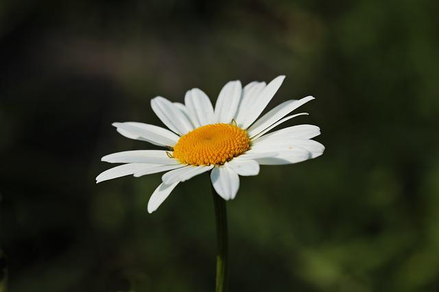 Daisies, White, Yellow, Blossom, Bloom, Plant, Flowers