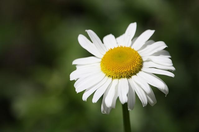 Margaret, Flower, Nature, Prato, Spring, Daisies