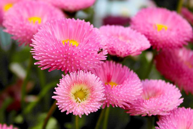 Daisy, Ant, Insect, Summer, Blossom, Bloom, Flower