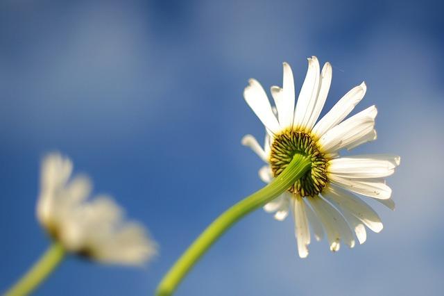 Daisy, Blue, Flower, Bloom, Colorful, Fresh, Blossom