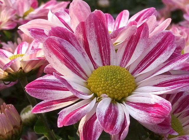 Chrysanthemum, Daisy, Cosmos