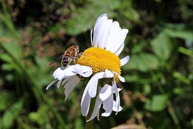 Meadows Margerite, Leucanthemum Vulgare, Daisy Family