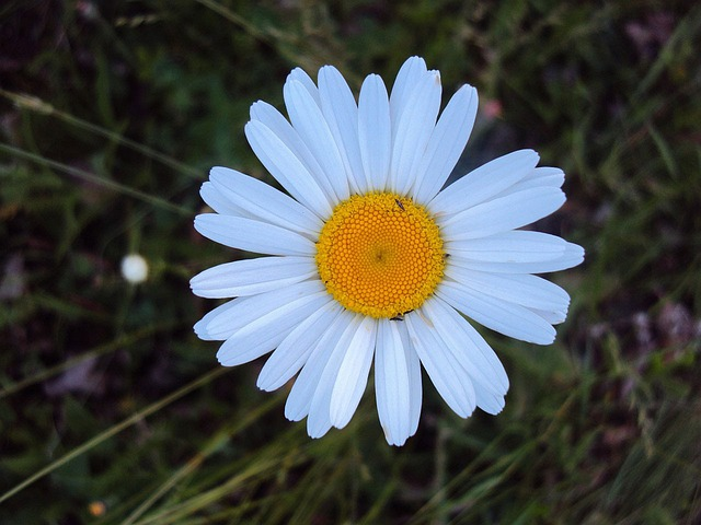 Daisy, White, Oxeye, Flower, Blossom, Bloom, Floral