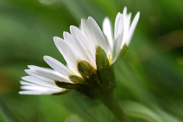Daisy, Bellis Philosophy, Korbblüter, Flower