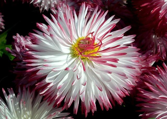 Flower, Daisy, Nature, Plant, Beautiful, Garden