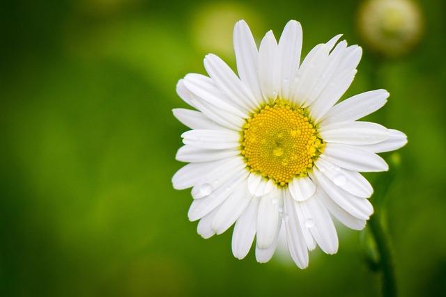 Daisy, Summer, Flowers Of The Field, Flower, White