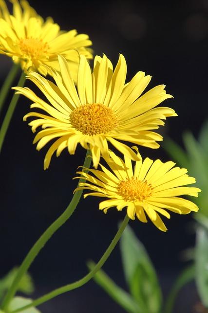 Daisy, Yellow, Nature, Plant, Flower, Summer
