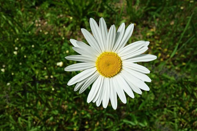 Ox-eye Daisy, Common Daisy, Daisy, Leucanthemum Vulgare