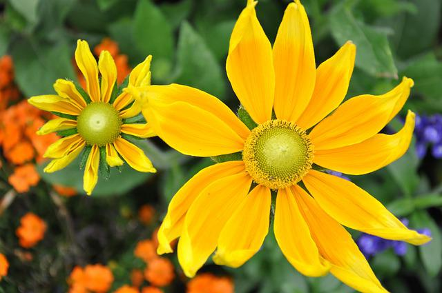 Daisy, Marguerite, Garden, Flowers, Spring, Petal