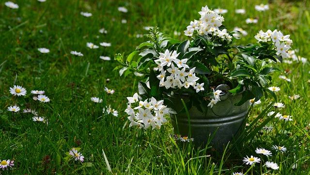Jasmin, Solanum Jasminoides, Meadow, Arrangement, Daisy