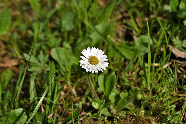 Daisy, Flower, Spring, Nature