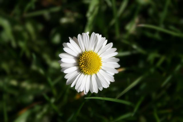 Nature, Plant, Flower, Grass, Daisy
