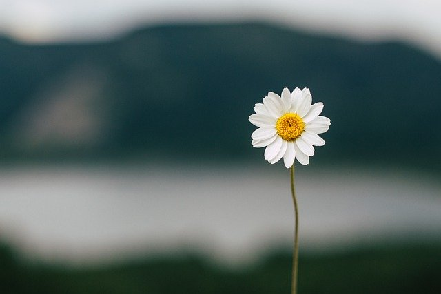 Daisy, Flower, Lake, Nature, Summer, Plant
