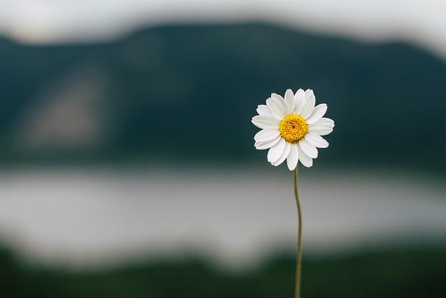 Daisy, Flower, Lake, Nature, Summer, Plant