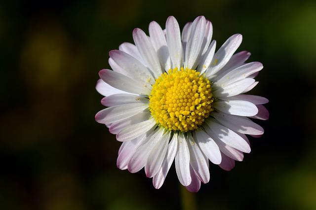 Daisy, Small, White, Flower, Blossom, Bloom, Yellow