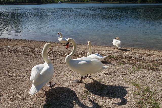 White Swans, Birds, Animal, Dalmatia
