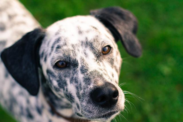 Dog, Portrait, Black And White, Dalmatian, Black Ears