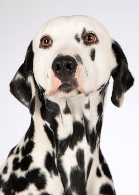 Dog, Dalmatians, Animal Portrait, Hundeportrait