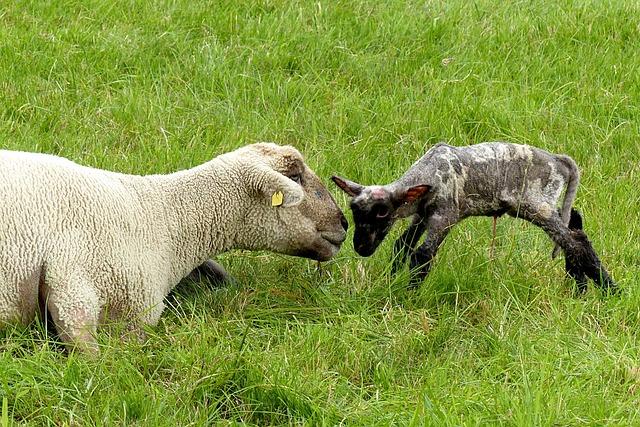 Animal, Sheep, Dam, Lamb, New Born, Pasture, Dike