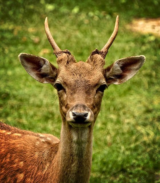 Fallow Deer, Damtier, Dama Dama, Female, Wild Animal