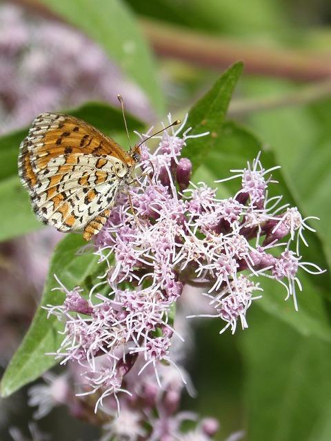 Melitaea Deione, Butterfly, Damer Dels Conillets