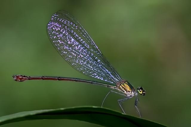 Damselfly, Odonata, Common Flashwing