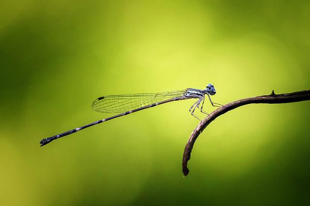 Damselfly, Odonata, Insect, Macro, Nature, Animal, Blue