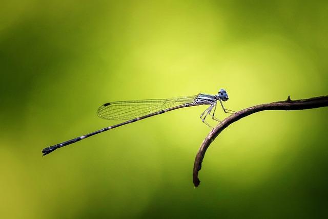 Damselfly, Odonata, Insect, Macro, Nature, Animal, Blue