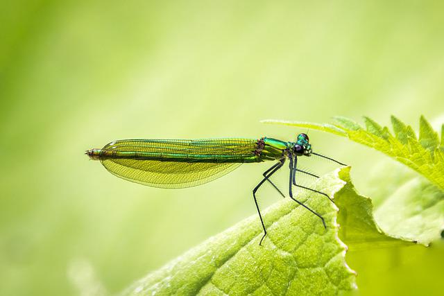 Banded Demoiselle, Damselfly, Odonata, Winged Insect