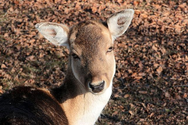 Damtier, Dama Dama, Wild Animal, Ruminant, Fallow Deer