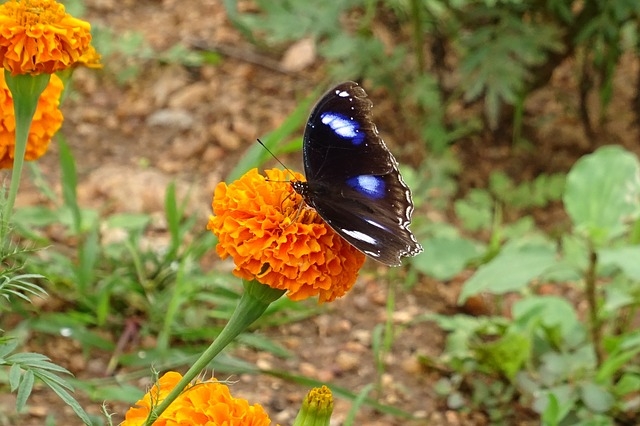 Danaid Eggfly, Tropical Butterfly, Butterfly, Insect