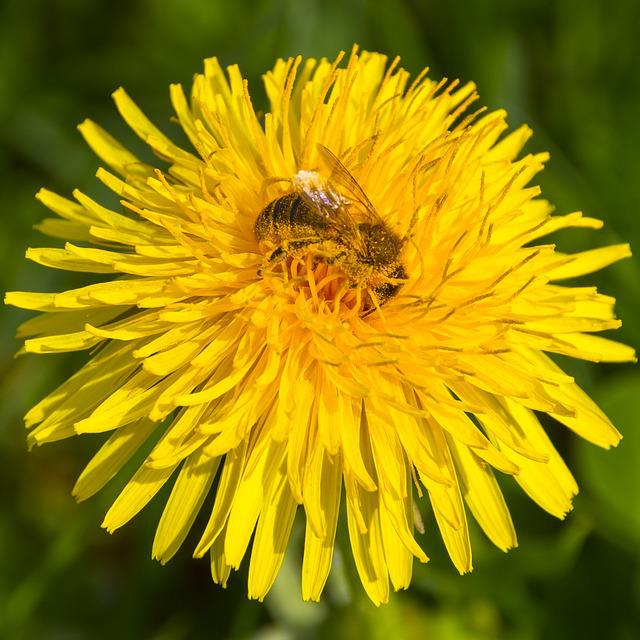 Pollen, Bee, Dandelion, Bee Pollen, Blossom, Bloom