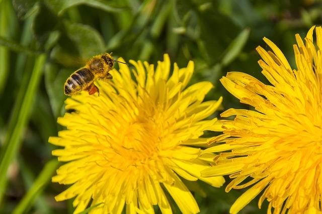 Pollen, Bee, Dandelion, Bee Pollen, Blossom, Bloom