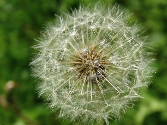 Dandelion, Flowers, Blossom, Bloom, Nature, Flora