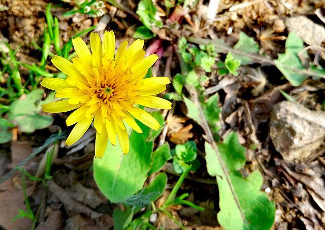 Dandelion, Flowers And Plants, Chrysanthemum