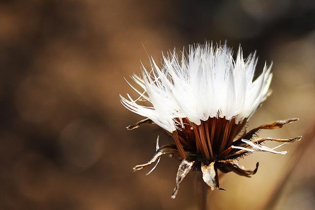 Autumn, Flower, Fluff, Faded, Dandelion