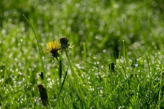 Dandelion, Back Light, Mood, Common Dandelion, Flower