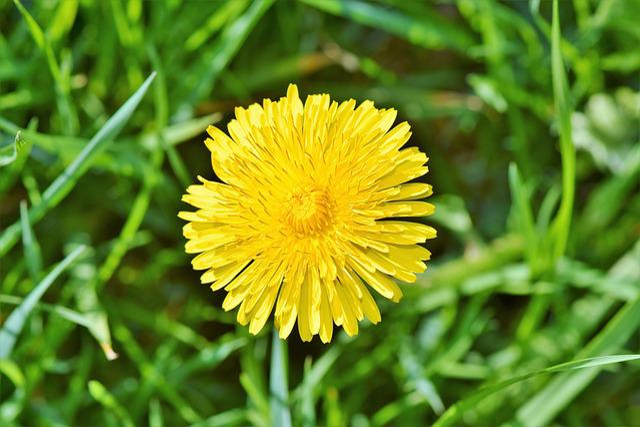 Dandelion Flower, Dandelion, Flower, Pointed Flower