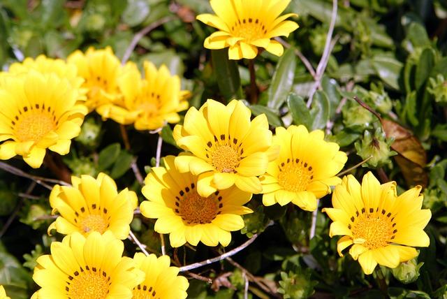 Jeju, Jeju Olle Trail, Dandelion Flower