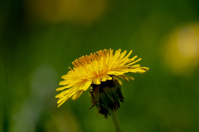 Dandelion, Flower, Yellow, Nature, Plant