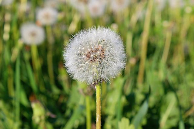 Dandelion, Flora, Nature, Grass, Summer, Flower