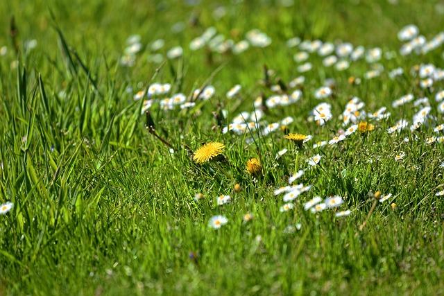 Dandelion, Daisy, Flower, Plant, Wild Flowers, Blossom