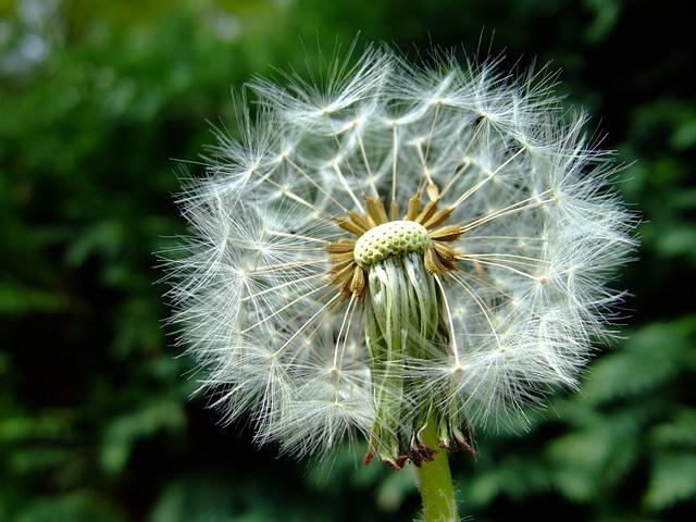 Dandelion, Fluff, Overblown, Wish, Blowing, Lint, Macro